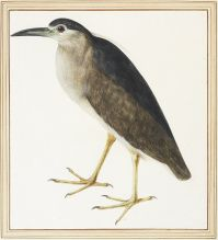 9 MC Study of a night heron