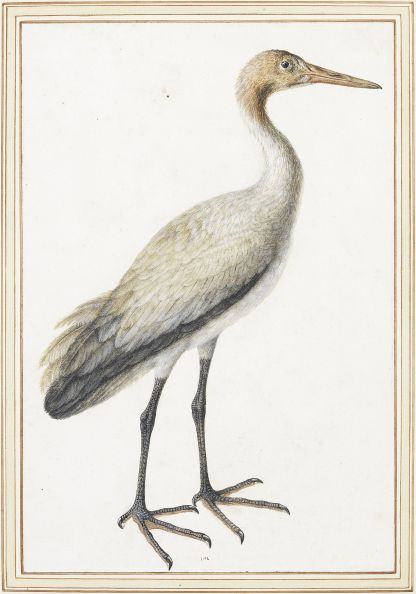MC 10 Study of a juvenile crane